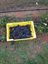 Grapes I Clipped
